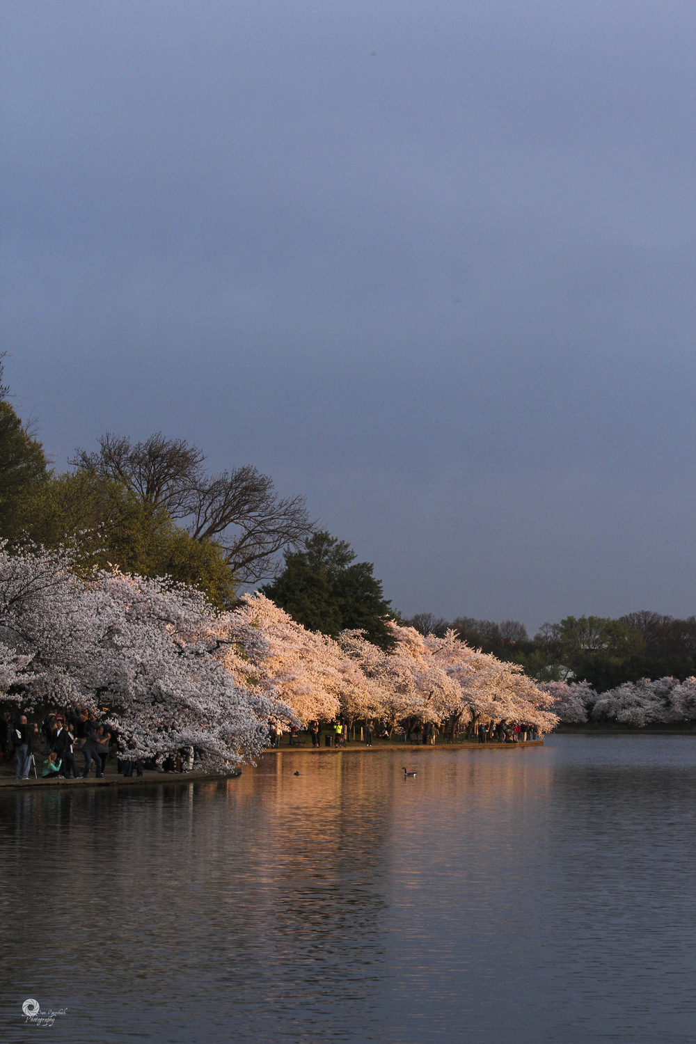 CherryBlossoms2014-2WM.jpg