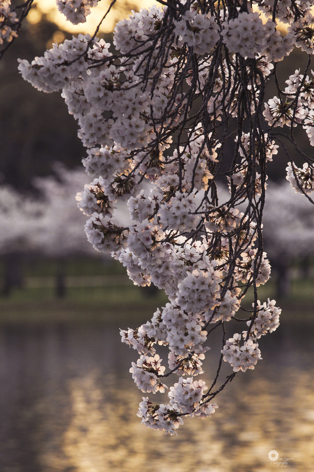 CherryBlossoms2014-9WM.jpg
