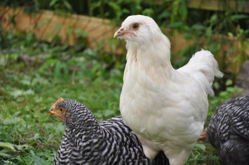 chickens201212.jpg