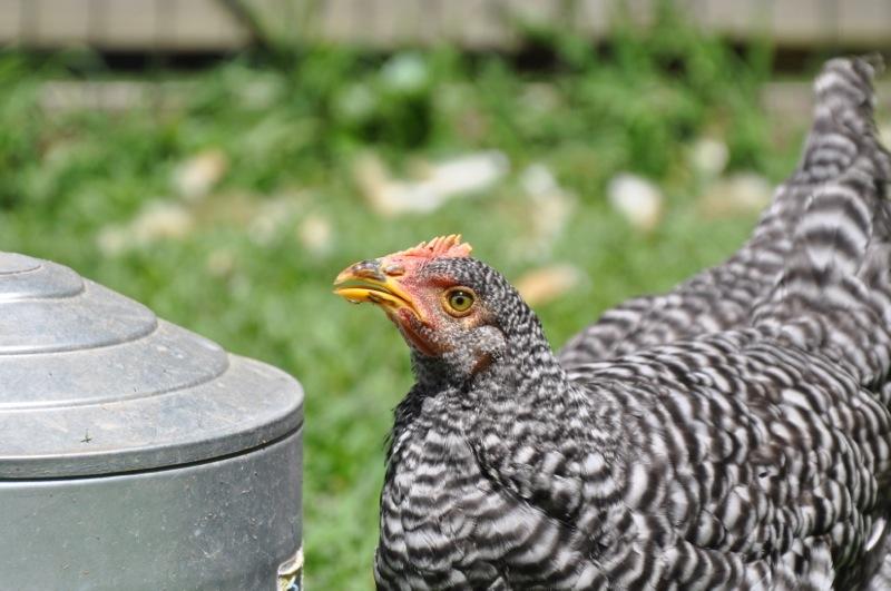 chickens201209.jpg