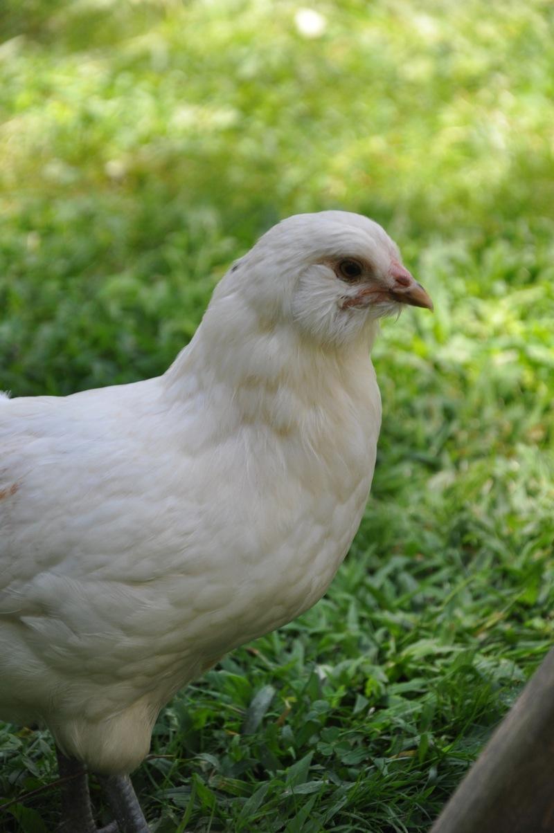 chickens201211.jpg