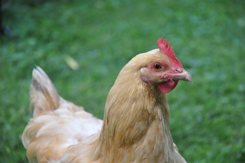 chickens201203.jpg