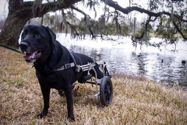 Shadeaux, a Labrador Retriever with disabilities, was one of my first clients in Baton Rouge. He passed away in 2015 and will always have a special place in my heart.