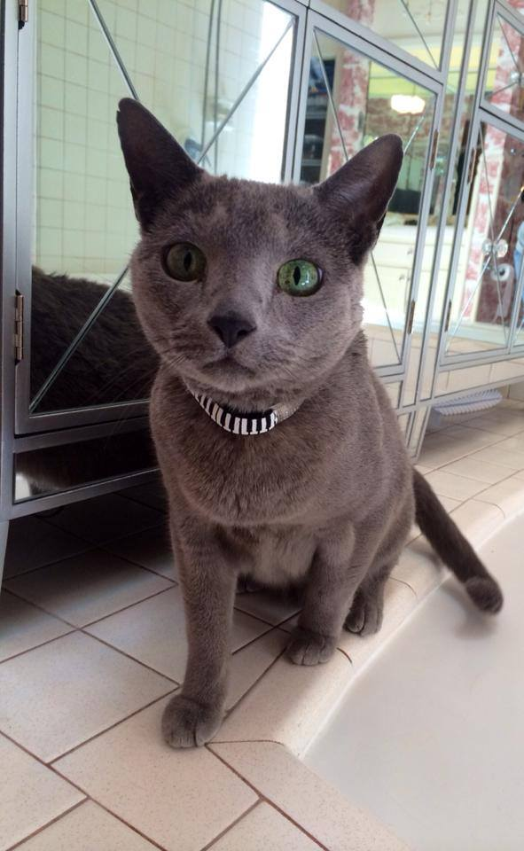 Niko, a beautiful Russian Blue, requires subcutaneous fluids every other day for health reasons as well as oral medication.