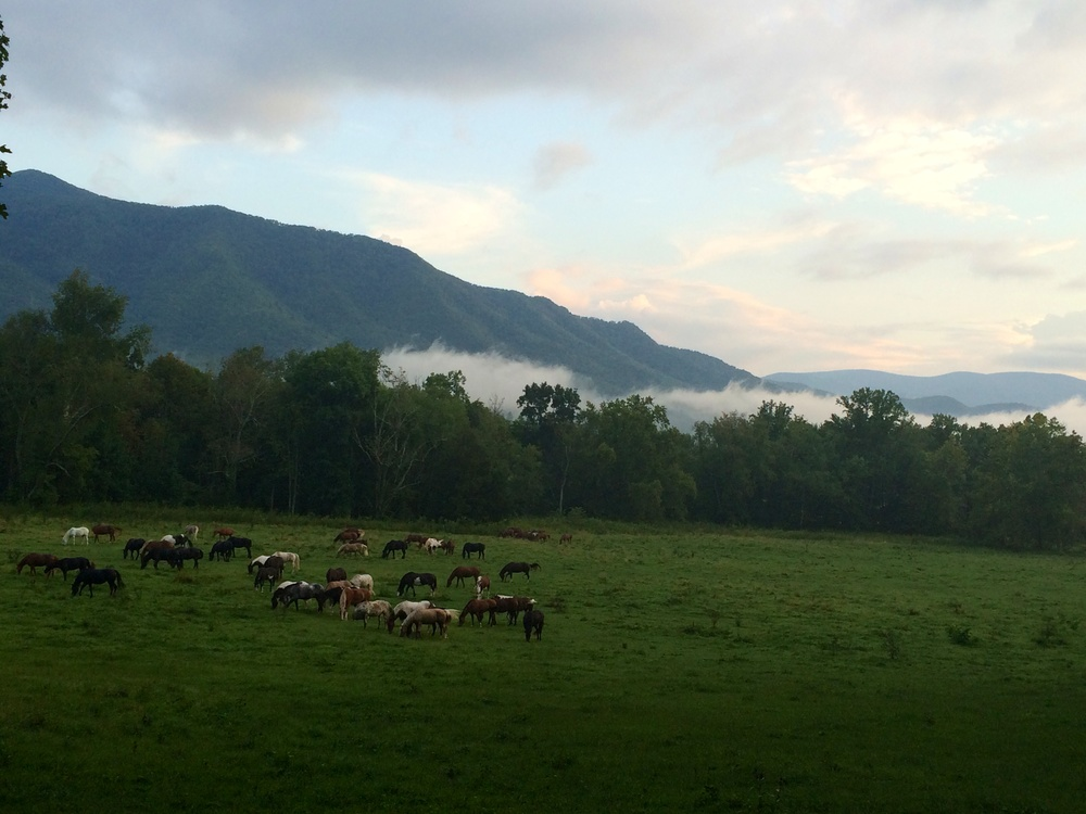 A herd of horses  in Cades Cove in The Great Smoky Mountains- September 2014