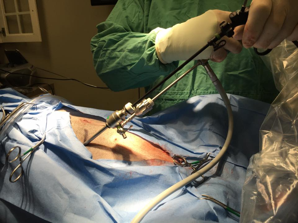A laparoscopic spay on Lena being performed by Dr. Frederick McMullan at  All Pets Hospital