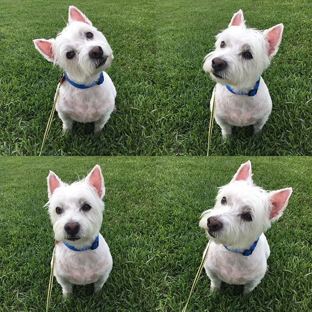 The many faces of Mac the #westie #westhighlandterrier #petsitting #iloveyourpet