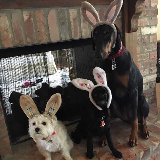 Happy Easter!! #lenathedoberman #sassysimone #minniemouse #iloveyourpet #petsitting #easter2017