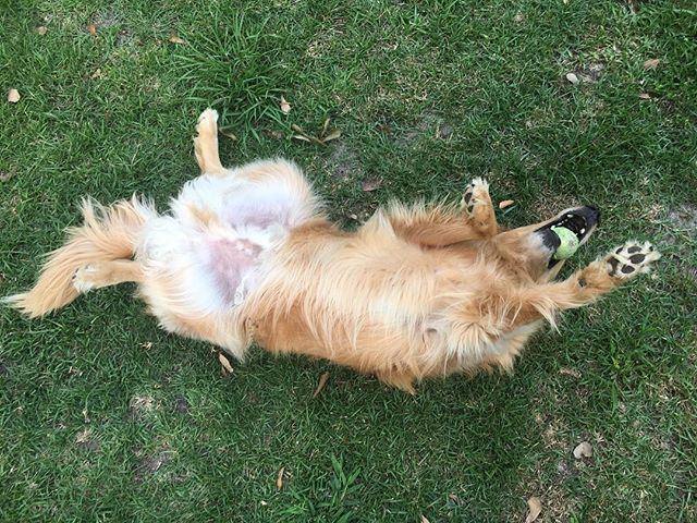 Ah, to live life like a #goldenretriever #goldensofinstagram #iloveyourpet #petsitting