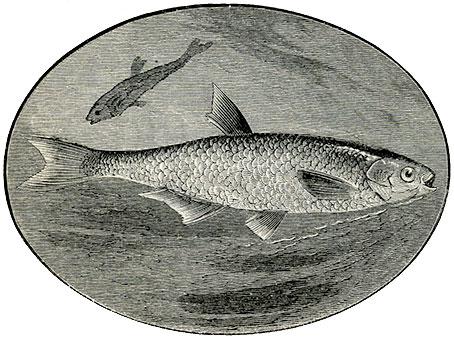 Bleak—Leuciscus alburnus.