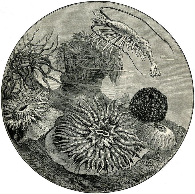 Sea-anemones.
