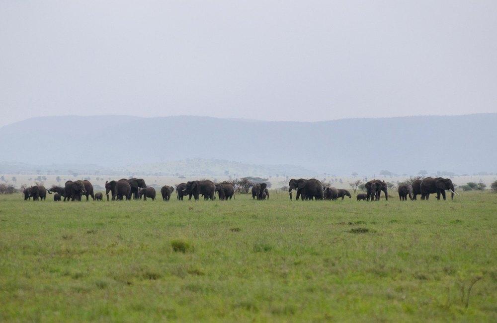 A herd of elephants in the Serengeti (© Kaitlyn Ellison)