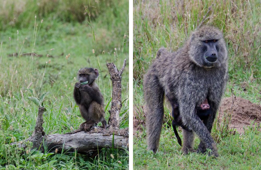 Baby baboons (© Kaitlyn Ellison)