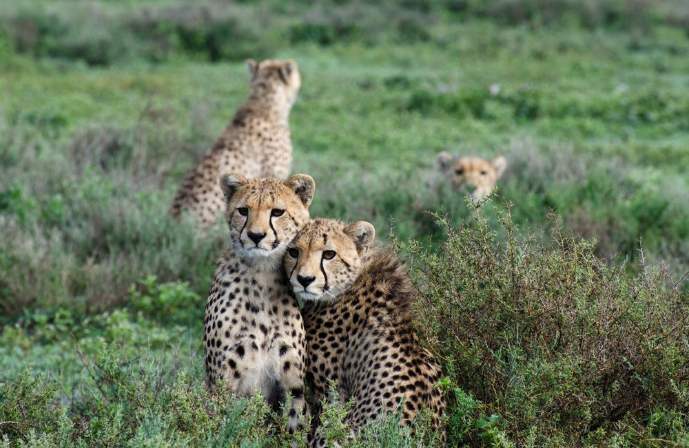 Cheetah siblings (on Small Things in Big Numbers)