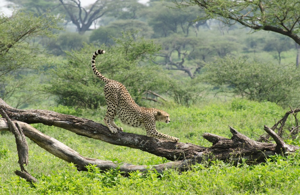 Cheetahs (on Small Things in Big Numbers)