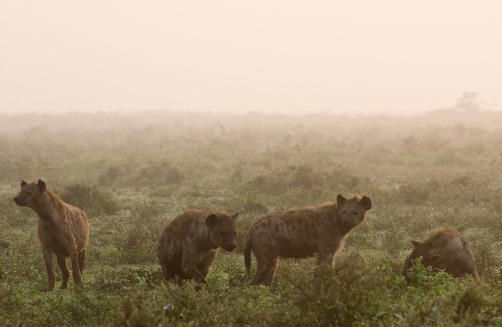 Hyenas in the mist (on Small Things in Big Numbers)