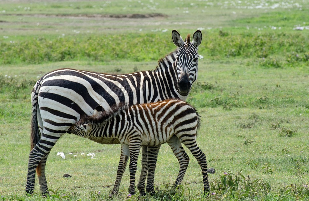 Baby Zebra (on Small Things in Big Numbers)
