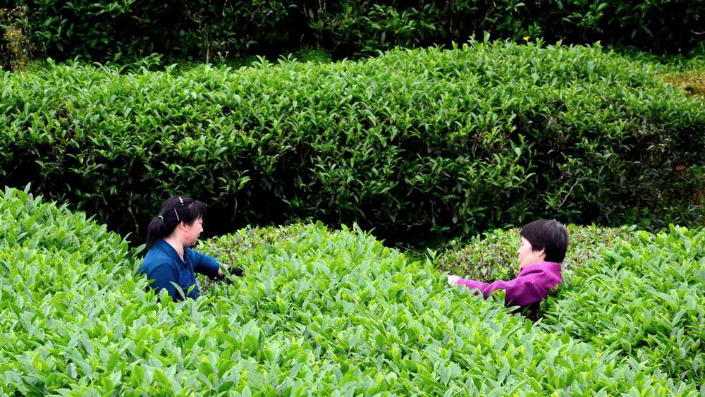Tea plucking in Wuyi Mountain by Cha-shifu.com.jpg