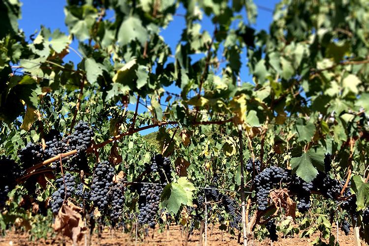 Casa Sardinia_Grapes.jpg