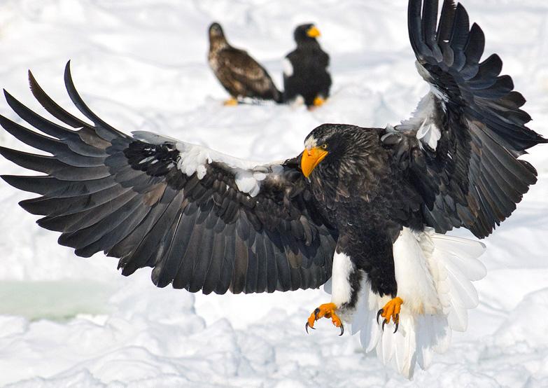Stellers see-eagle