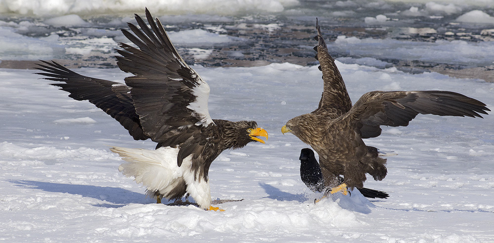 Stellers and White-tailed eagles