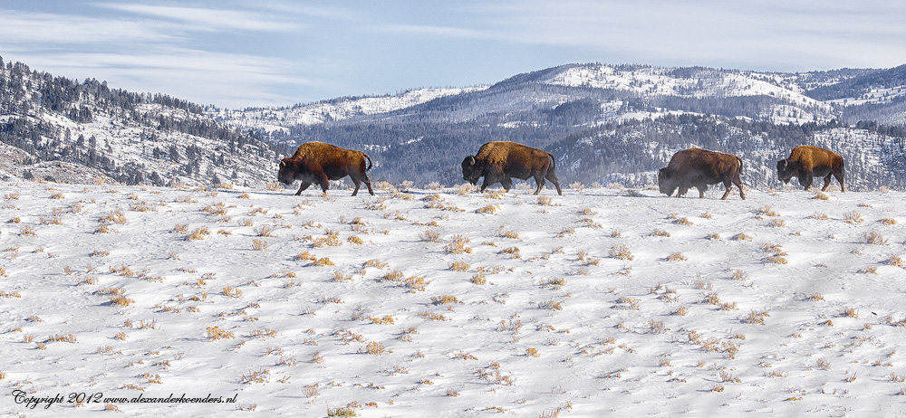 Bisons migration Yellowstone