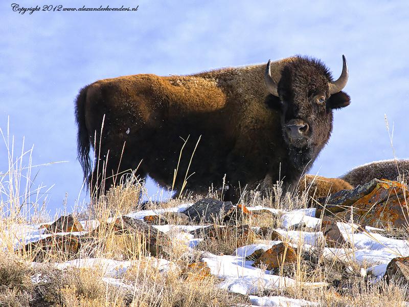 Bull bison Yellowstone