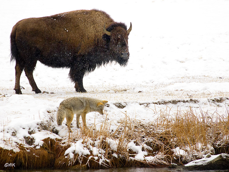 Bison and Coyote