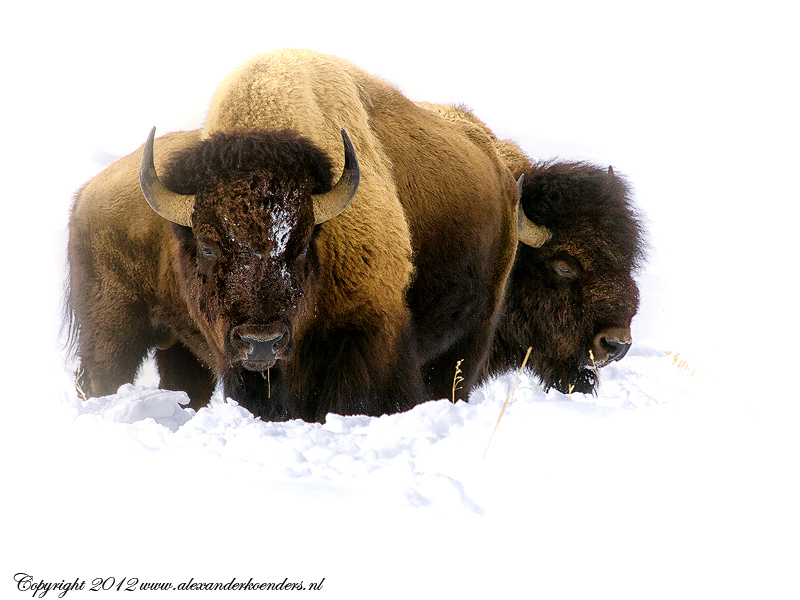 Bisons standing