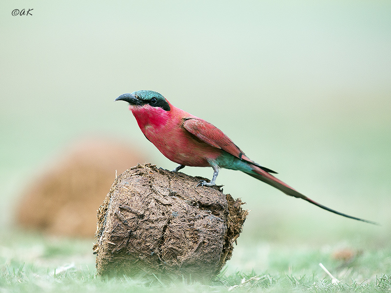 Karmine bee-eater