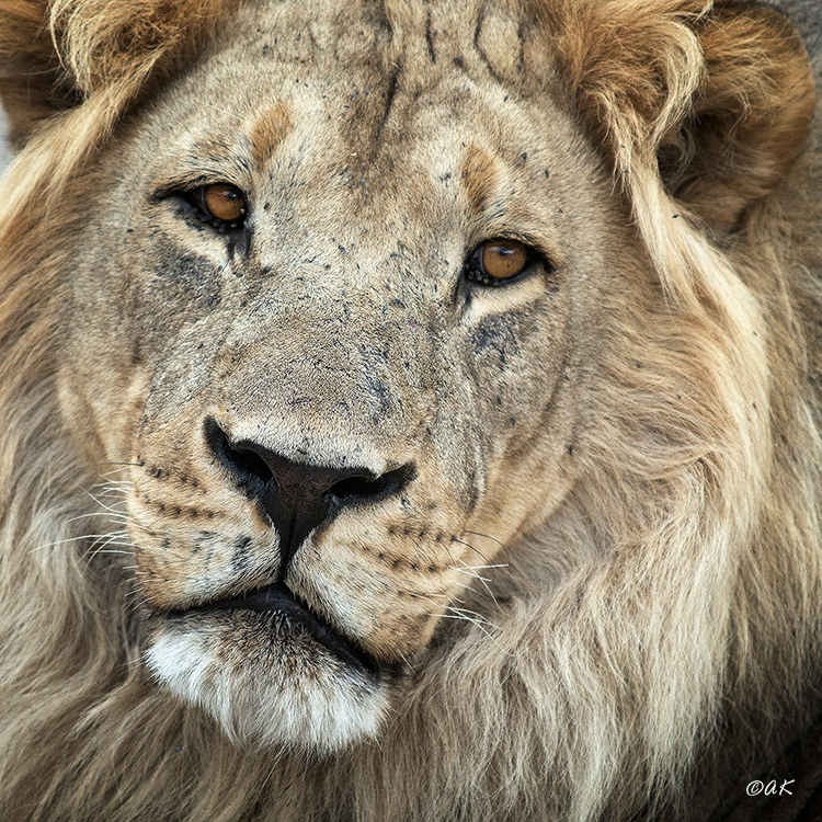 Close up lion