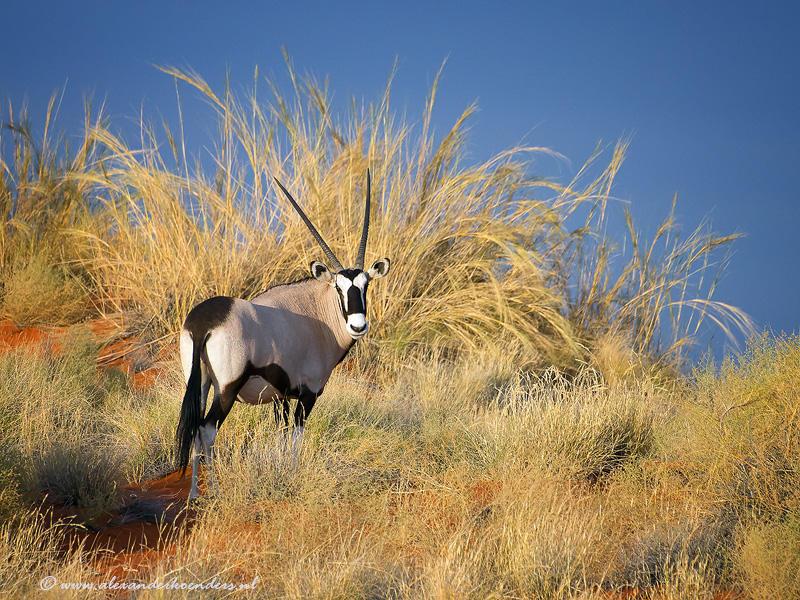 Oryxgazelle
