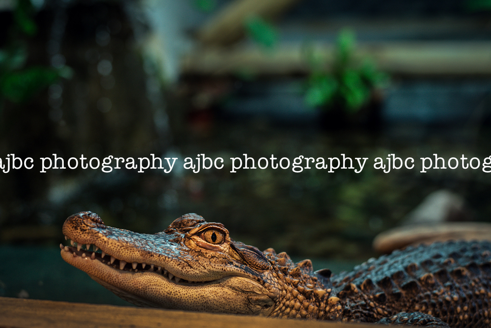 CajunGator_AJBCPhotography_PortHuron_ArtHop_alligator