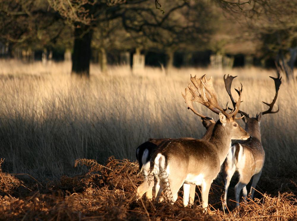 Two_deer_at_Richmond_Park,_London.jpg