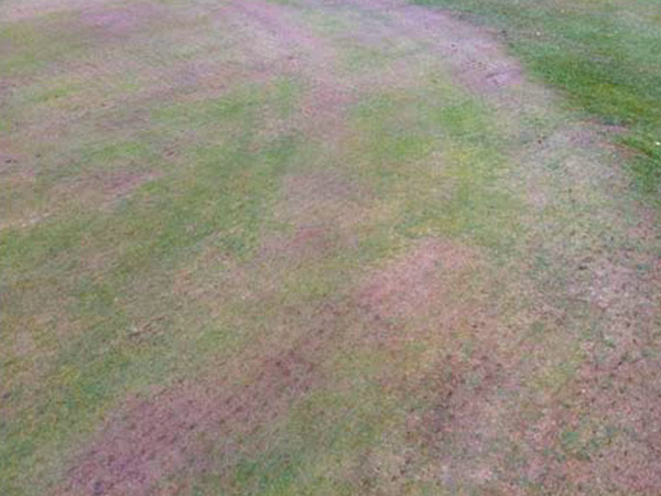 Before |   Severe dry weather and poor/faulty sprinklers led to dry patch on the front of the green