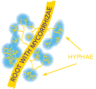 Mycorrhizae create a fine filament network (Hyphae) which extends the area for roots to absorb nutrients and water from the soil