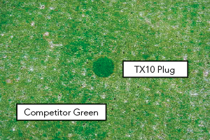 Established green trial: 6 weeks from fertilising, the plug shows sward density and colour is well ahead on the TX10 treated half of the green.