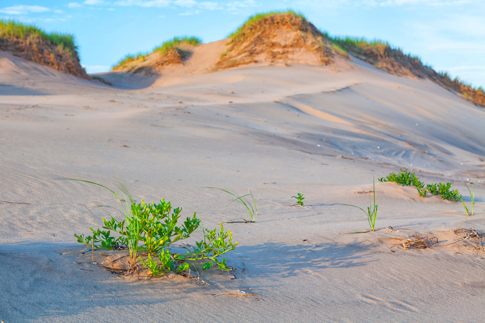 bigstock-Vegetation-on-sand-dunes-on-Pr-49242608.jpg