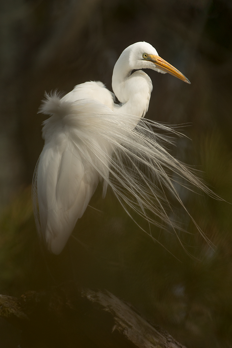 The bird on a branch portrait does not excite me! While this image is a nice portrait of a beautiful bird, a Great Egret, it lacks a deeper vision.