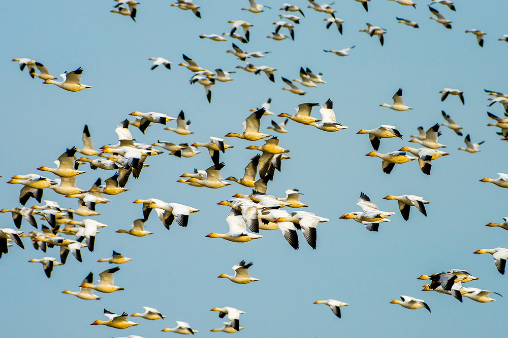 A well composed and sharp image of Snow Geese in flight, yes, but not one that has not been seen a million times before.