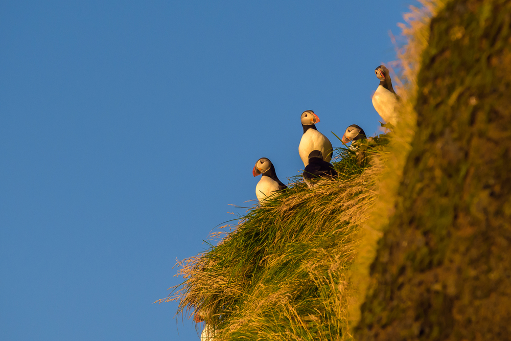 Nesting Puffins, Vik, Iceland
