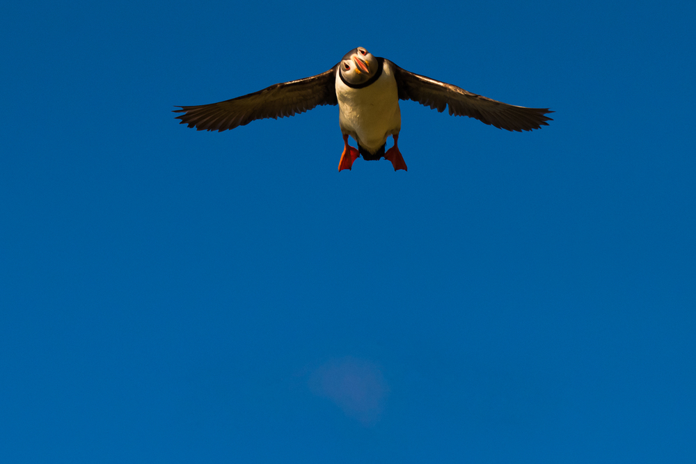 Flight of the Puffin, Vik, Iceland