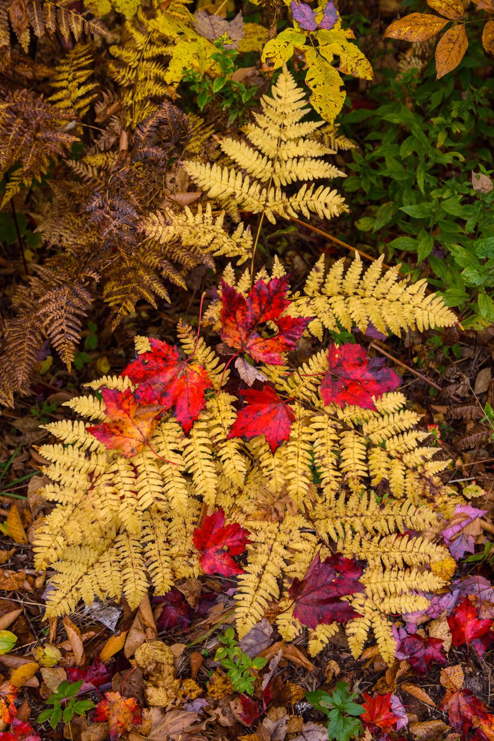 Autumn Ferns, Groton State Forest, Vermont