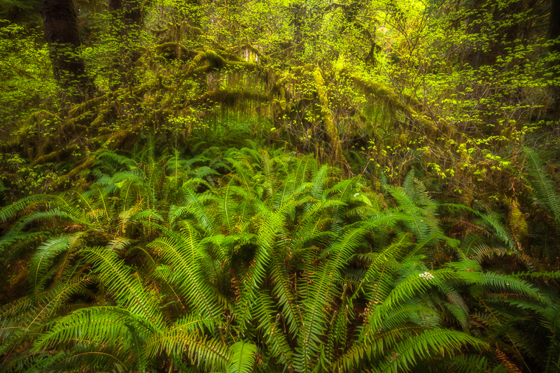 Tangled, Hoh Rainforest, Olympic National Park, Washington