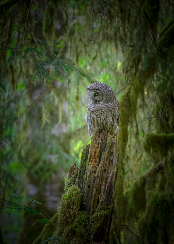 Barred Owl, Hall Of Mosses, Olympic National Park, Washington