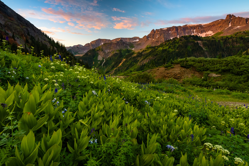 False Helebore, Columbine's and Queen Annes Lace at sunrise, Yankee Boy Basin, Colorado