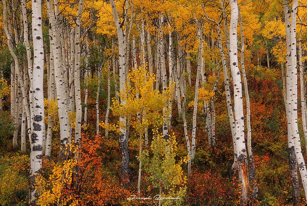 aspen-forest-horz.jpg