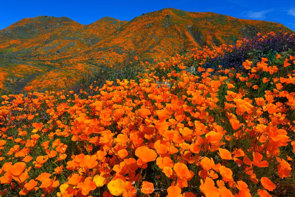 Colorado Gold Poppies, Walker Canyon, Lake Elsinore