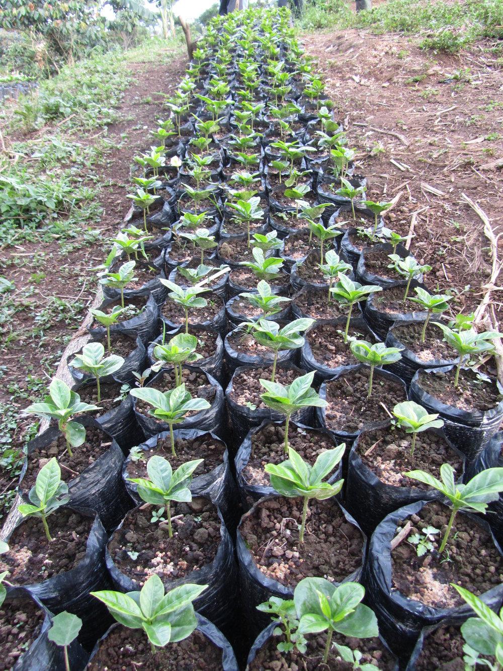 Ronald seedlings catuai.JPG