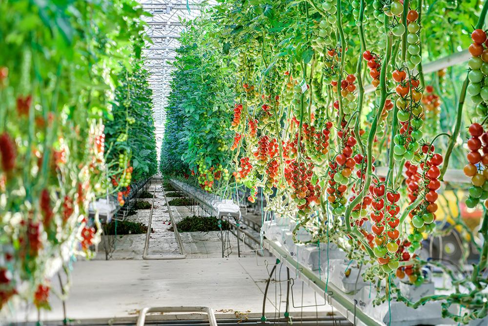MightyVine Tomato